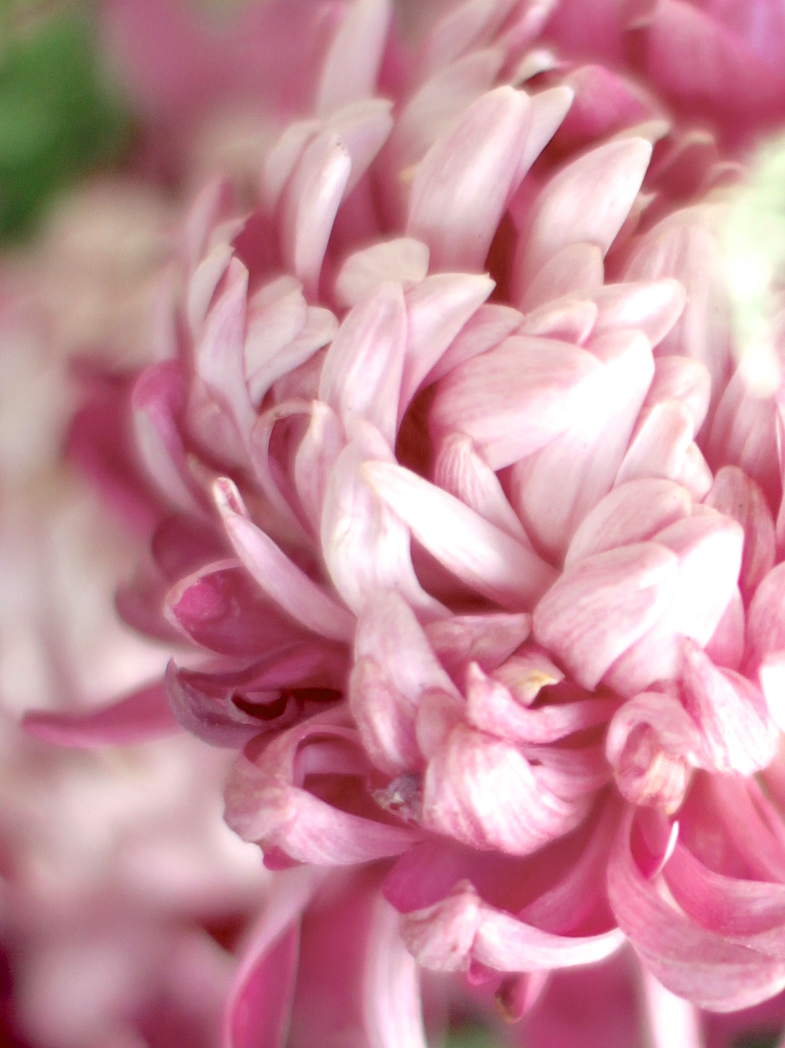 Chrysanthemum-Allouise-Pink
