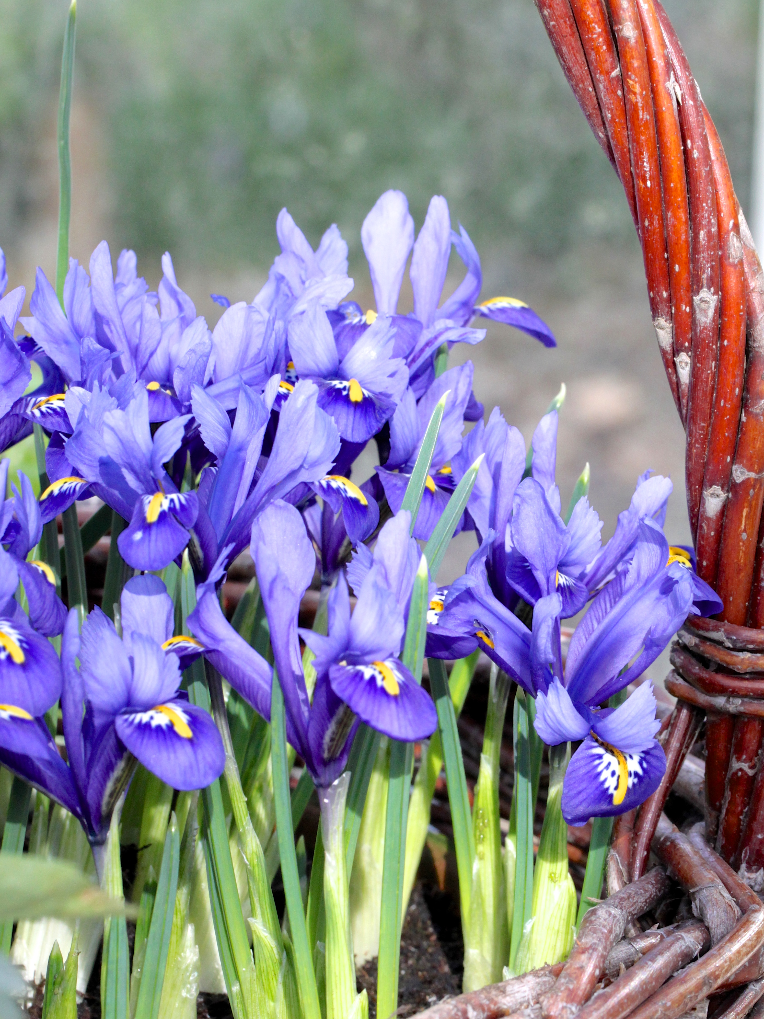 Iris-Crocus-and-Hellebores