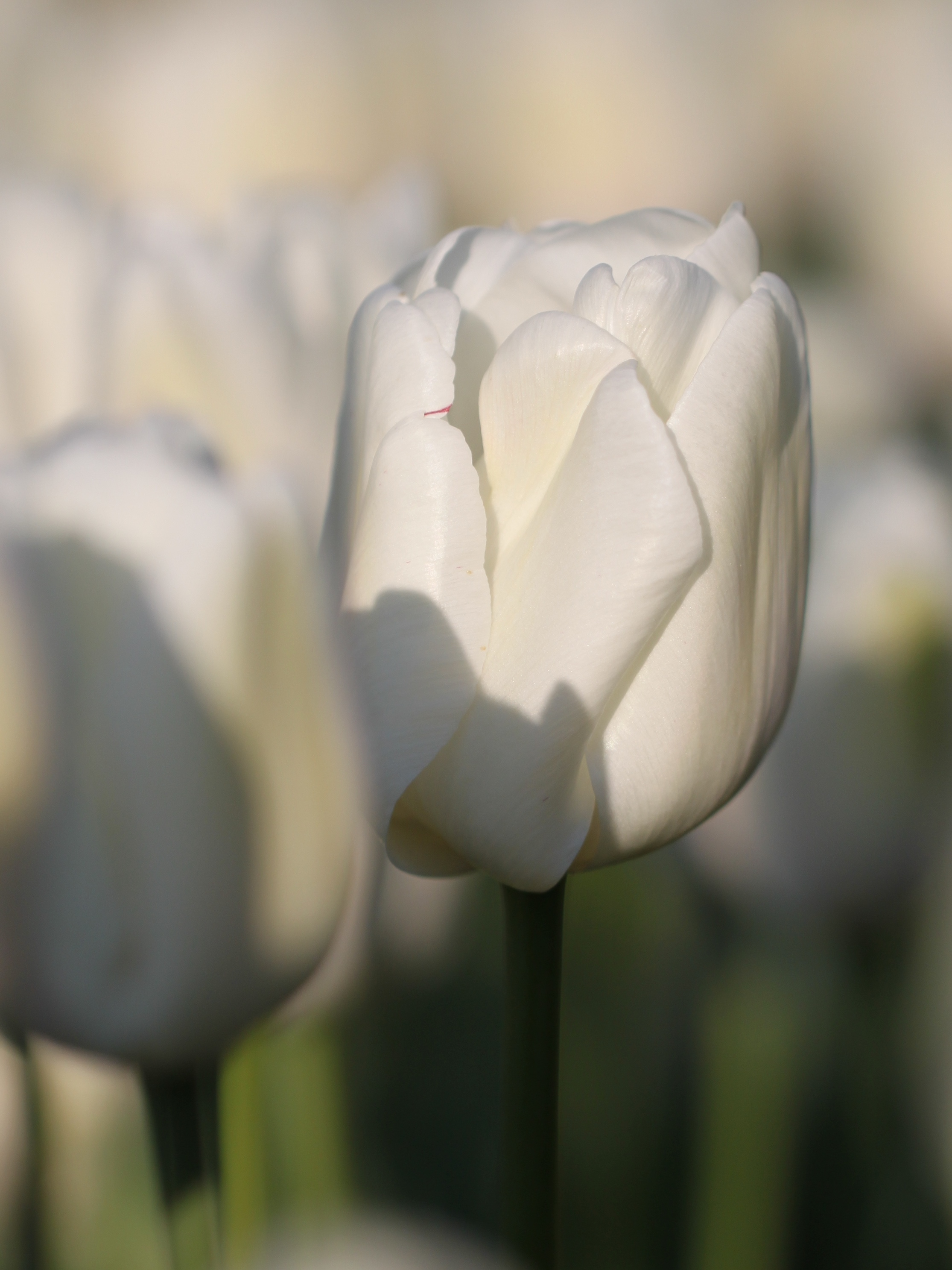 Triumph-Tulip-White-Dream.