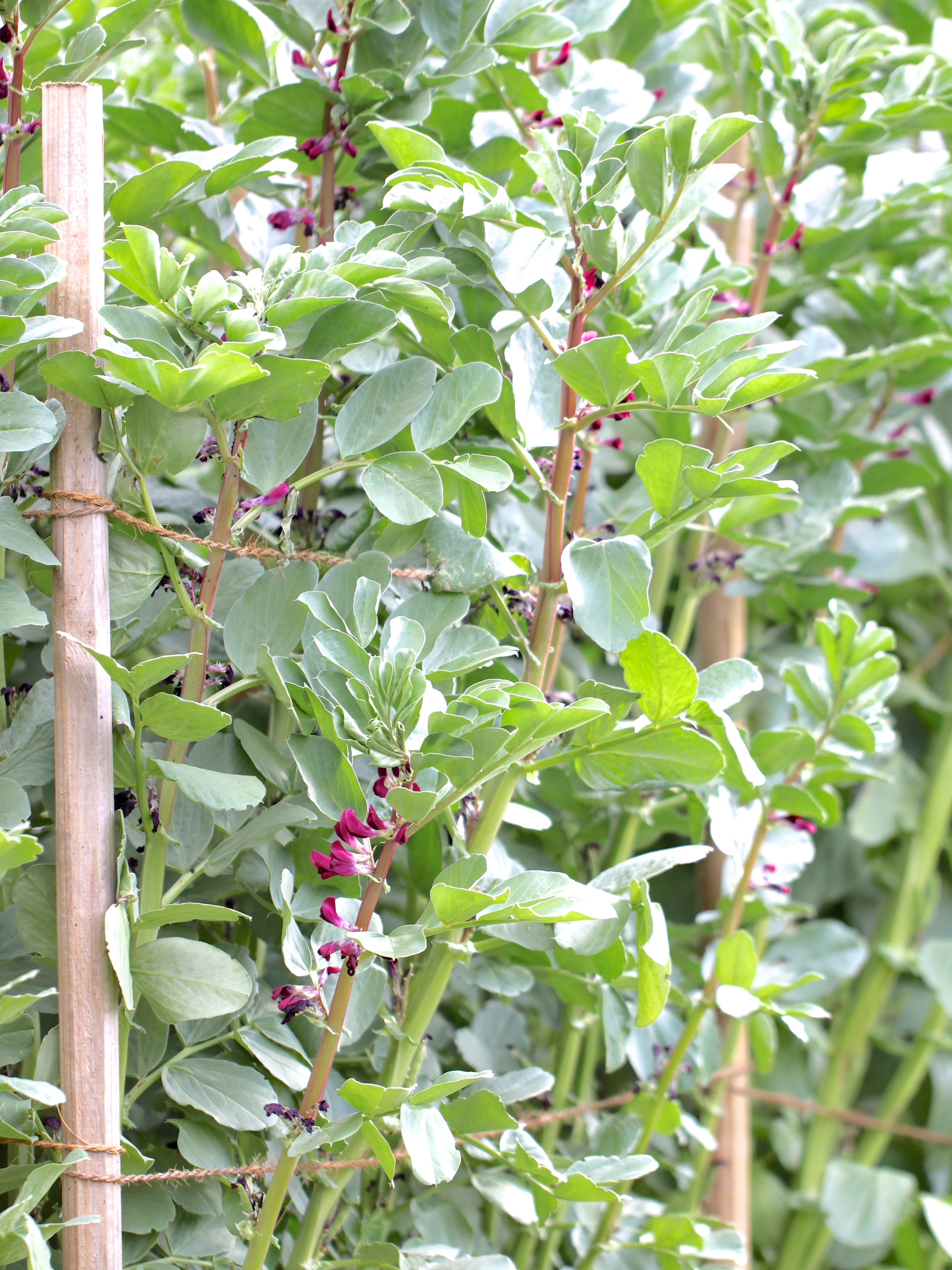 Broad-Bean-Plants.jpg