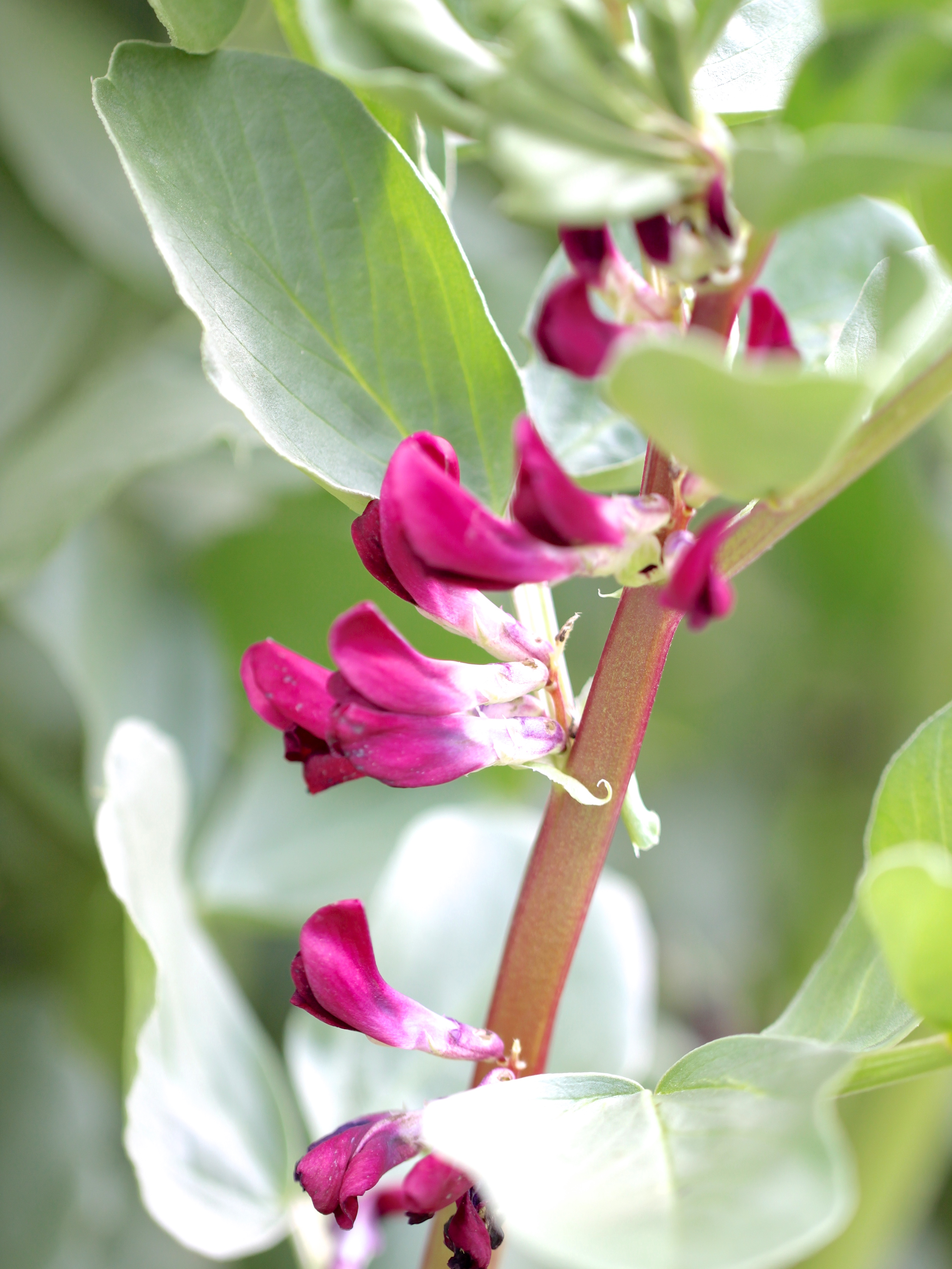 Crimson-Flowered-Broad-Bean