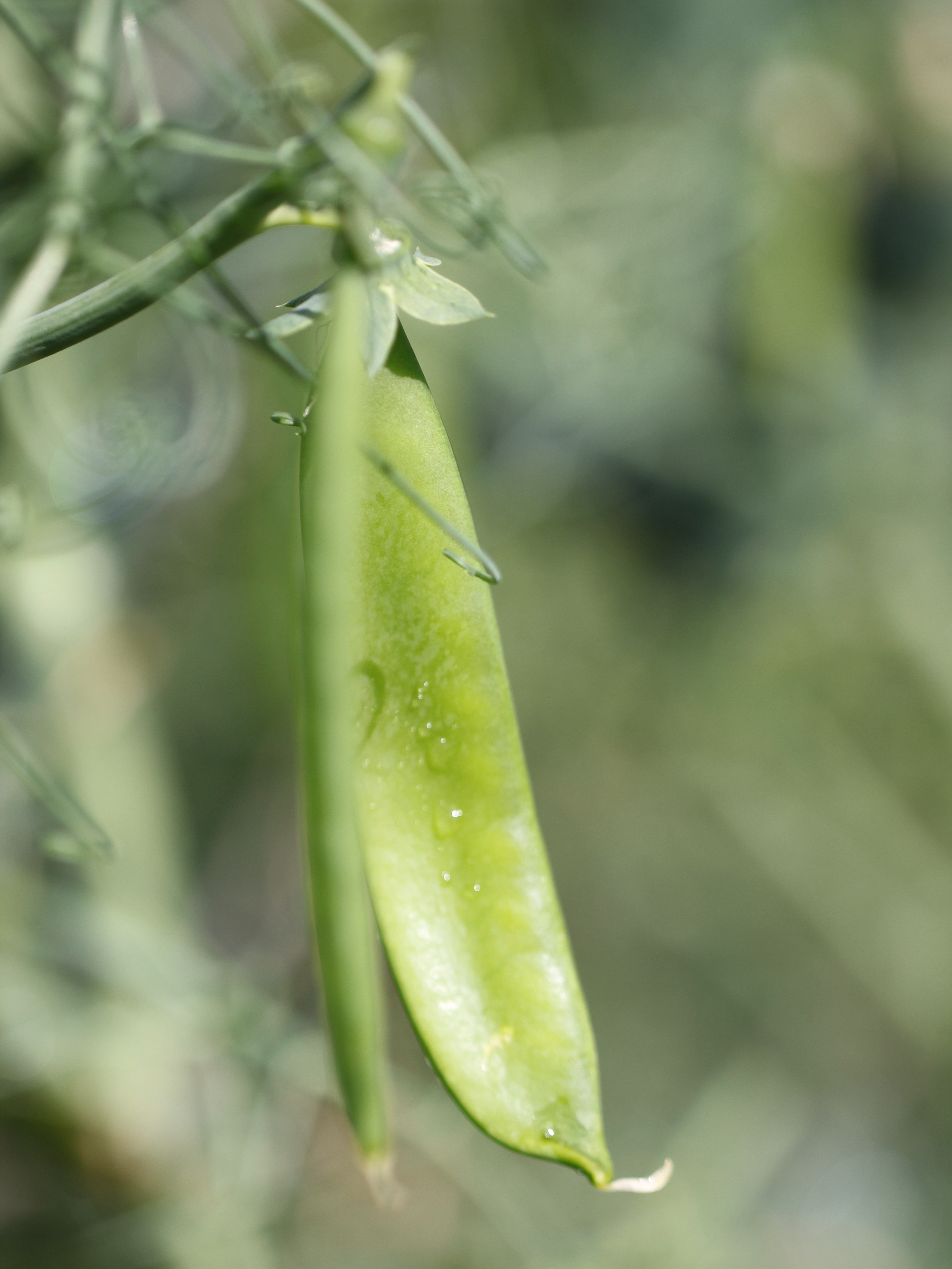Developing-Pea-Pod
