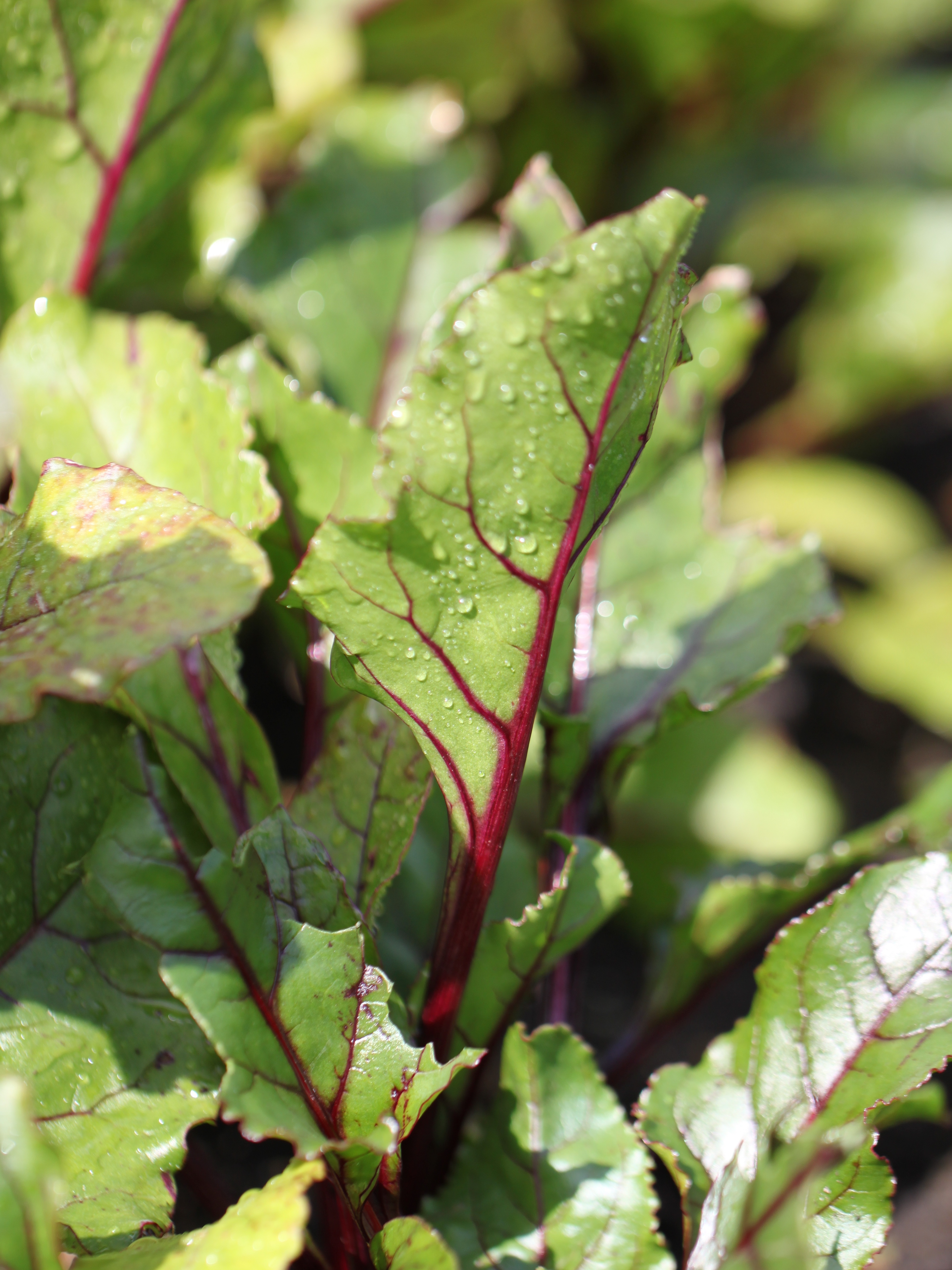 Beetroot-Leaves.jpg